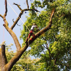 Sečnja dreves